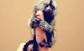 迄今为止世界上最小的灵长类 指尖上的鸟猴