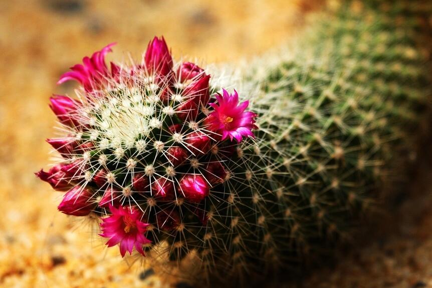 太神奇!千岁兰沙漠存活千年不死