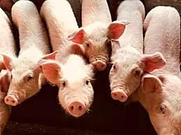 2019猪肉价格上涨原因 猪肉价格为什么这么贵