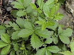仙鹤草有什么药用疗效?仙鹤草的功效与作用有哪些