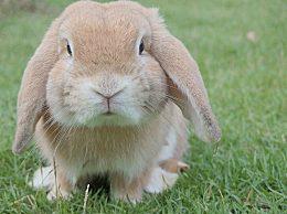 养兔子味道太臭怎么办?养兔子怎么样才不难闻