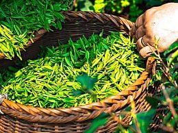 绿茶具有哪些功效与作用?常喝绿茶有哪些好处