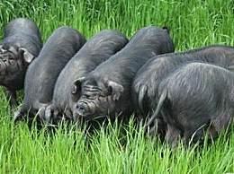 成华猪比大熊猫还稀少濒临灭绝 成华猪为什么最适合做回锅肉