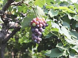 葡萄上的白霜怎么才能洗干净?洗葡萄的小方法介绍