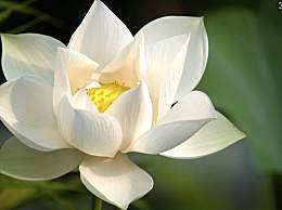 白莲花是什么意思?白莲花和绿茶婊有什么区别