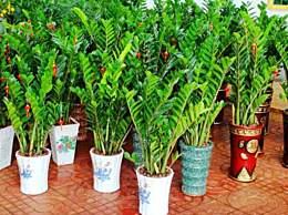 金钱树怎么养 金钱树的养殖方法和注意事项汇总