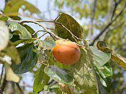 吃柿子有什么好处和坏处?柿子的营养价值和功效作用