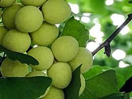 银杏果具有那些功效与作用?银杏果食用方法介绍