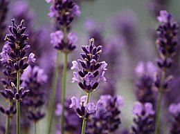 薰衣草精油有哪些功效及作用?薰衣草精油的六大功效
