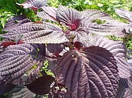 紫苏叶的功效和作用 紫苏叶食用方法汇总