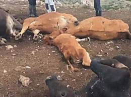 震惊!西班牙20头牛被雷劈死亡 血液在其体内凝固