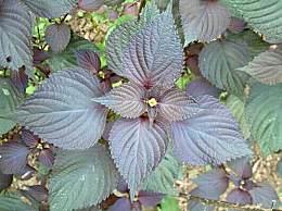 紫苏叶泡水喝有什么好处?紫苏叶的功效与作用及禁忌