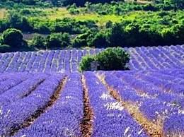 普罗旺斯在哪个国家?普罗旺斯的薰衣草几月开?