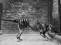 世界上最后一只袋狼生前画面 袋狼是什么?袋狼灭绝的原因是什么?