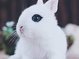 海棠兔怎么饲养?海棠兔饲养方法和注意事项