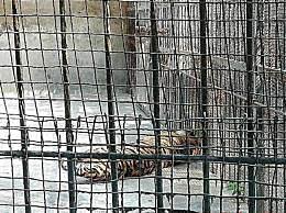 马戏团脱逃老虎系租借 两名负责人已被刑拘