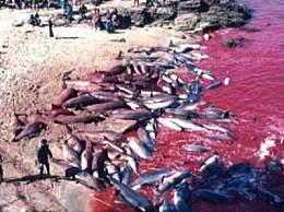 血水染红海豚湾 日本捕鲸血洗海豚湾