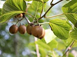 猕猴桃怎么样才能快速催熟?猕猴桃要怎么保存