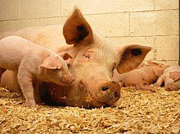 全国猪价行情如何?中秋节将至猪价还会继续上涨吗
