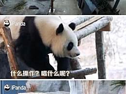 芬兰动物园给熊猫过中秋