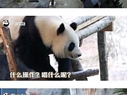 芬兰动物园给熊猫过中秋 演唱中文经典歌曲好搞笑