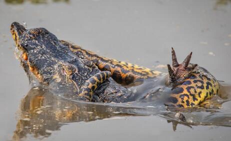 巴西巨蟒与鳄鱼打斗 鳄鱼被巨蟒勒死
