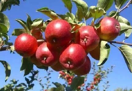 内蒙古有哪些特色水果?内蒙古特色水果汇总