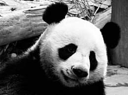 19岁旅泰大熊猫摔倒后死亡