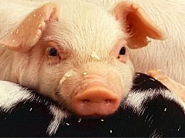 韩国发现首例非洲猪瘟疫情 猪感染后致死率最高达100%