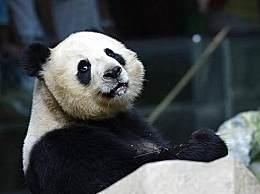 旅泰19岁大熊猫创创离世!死亡原因仍需调查