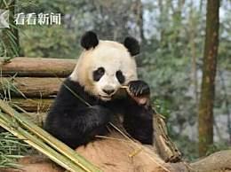 旅泰大熊猫创创疑似噎死!死前刚进食不久