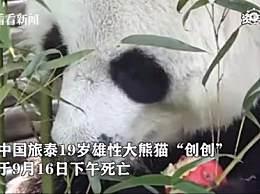 旅泰大熊猫创创疑似噎死 19岁旅泰大熊猫创创死因是什么
