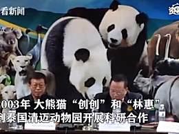 旅泰大熊猫创创疑似噎死 吃完竹子以后倒地不起