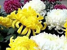 国内赏菊花去哪儿好?盘点国内最出名的五大菊花展