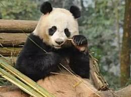 旅泰大熊猫创创疑似噎死 进食结束后站立起来然后倒地死亡原因