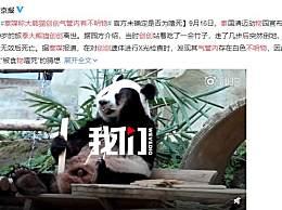 泰媒称大熊猫创创气管内有不明物 熊猫创创死因究竟是什么