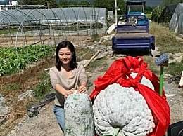 447.8斤巨型冬瓜 杭州男子种出447.8斤举世罕见