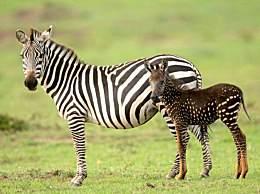 最强变异!条纹斑马竟然生出斑点斑马令人称奇