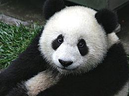 国际熊猫节是几月几日?熊猫的习性特点介绍