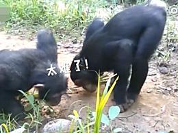 黑猩猩和乌龟打招呼的方式!网友:像极了不会做题的人