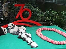 7只新生大熊猫拼出70图案 熊猫宝宝向新中国成立70周年献礼
