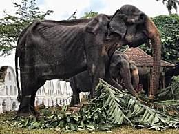 70岁皮包骨大象累瘫后去世!全身肋骨清晰可见 曾被迫参加游行