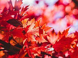 国庆节哪里的枫叶最红最好看?国庆假期红叶鉴赏图鉴一览