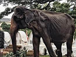 70岁皮包骨大象累瘫后去世 愿天堂没有动物表演
