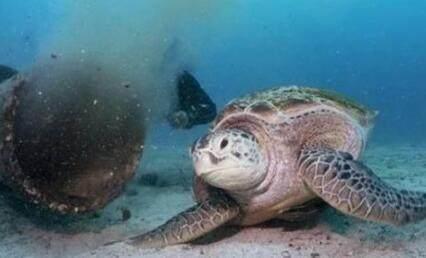 绿海龟以污水为食