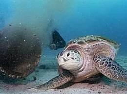 绿海龟以污水为食 以人类排泄物为食物太恶心