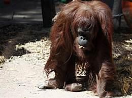 全球首只拥有自由权的猩猩 结束20年关押转移至美国人猿中心