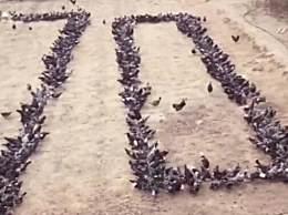 2000只鸡花式走位表白祖国 这群鸡好有灵性