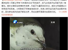 和平鸽迷路飞到河南详情 和平鸽真的是从北京飞来的吗