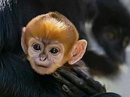 澳大利亚动物园降生濒危黑叶猴